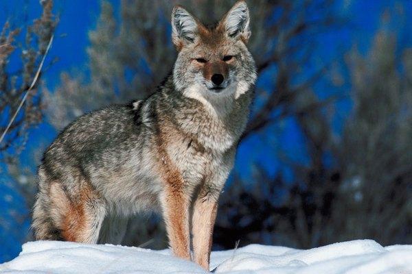 Los lobos grises son mucho más grandes que los coyotes.