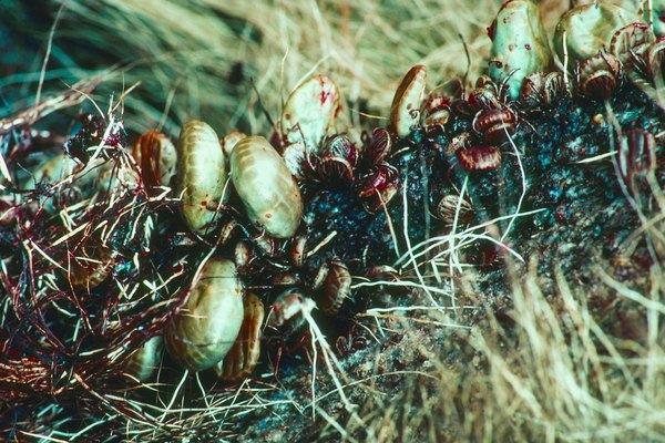 Las garrapatas y las coloradillas son insectos muy diferentes.