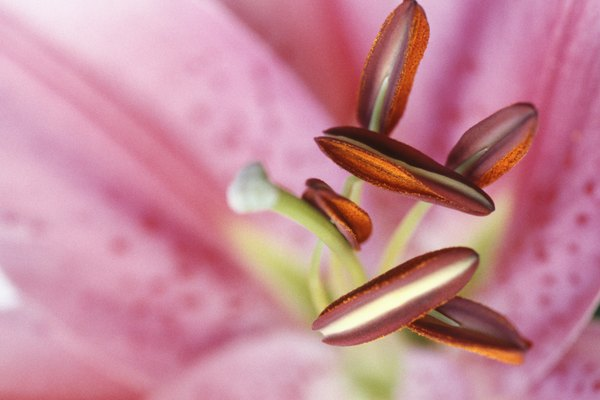 Stamen of lily, close-up