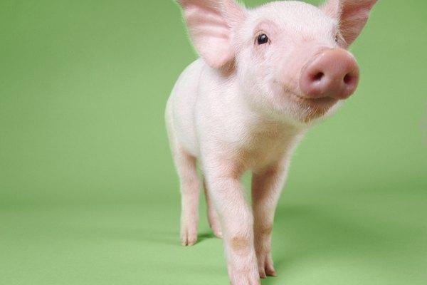 Ningún disfraz porcino está completo sin una nariz plana rosa.