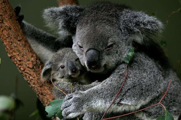Baby Koala Boosts Taronga Zoo's Breeding Program