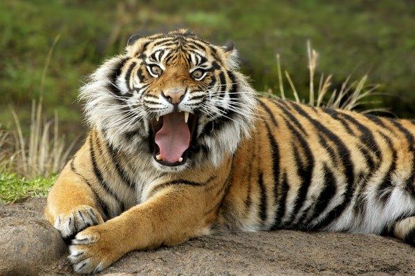 Las rayas de los tigres les ayuda a camuflarse.