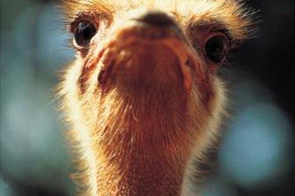 Una granja de avestruces genera ganancias de muchas maneras diferentes.
