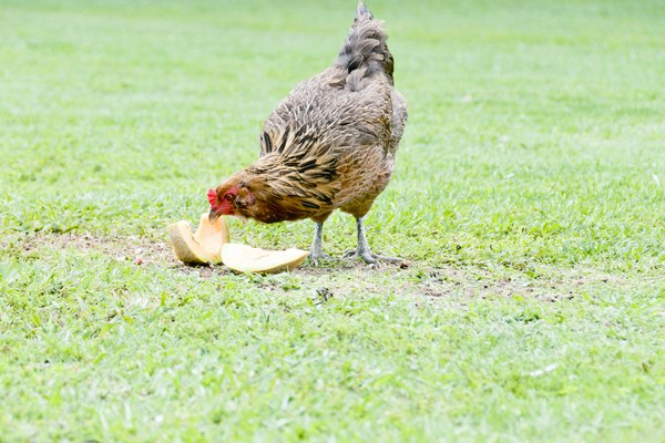 Free Ranging, Backyard, Hen eating cantaloupe (Ameraucana)