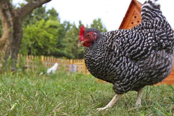 Barred rock chicken in free range yard