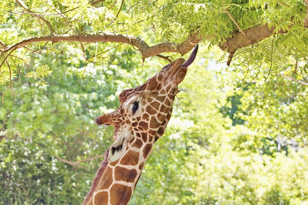 Giraffe Portrait Eating Leaves