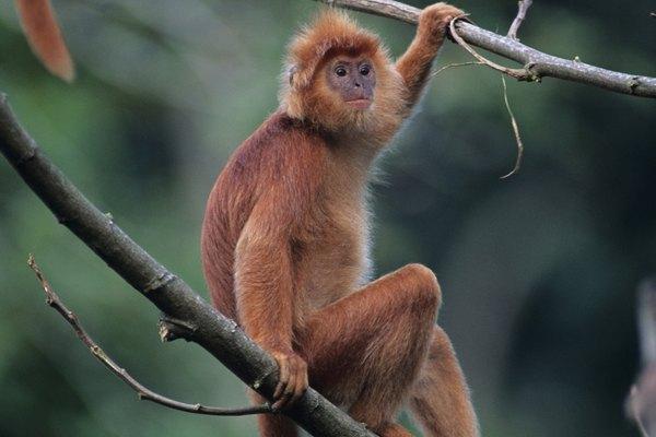 Los monos del Nuevo Mundo tienen tres premolares y el último molar a menudo es mucho menor o inexistente.