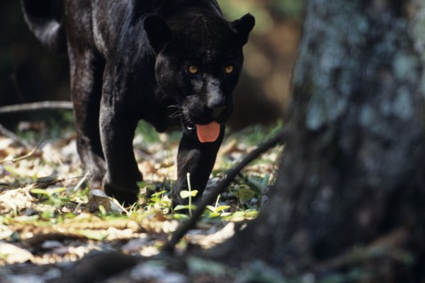 Black jaguar (Panthera onca) walking in forest, Brazil