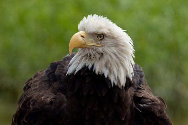 Adult Bald Eagle close up
