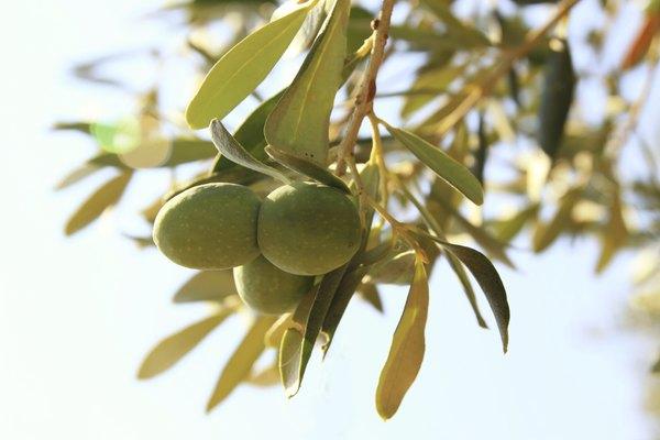 El olivo crece a lo largo del Nilo.