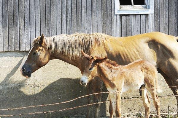 Una yegua se encuentra junto a su joven mula por el granero.