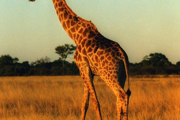 Las jirafas han capturado la imaginación desde tiempos de la prehistoria.