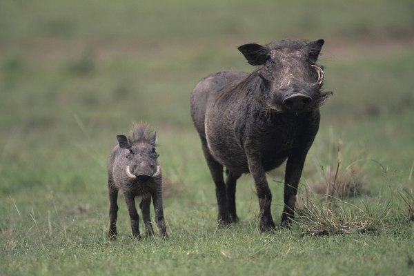 Warthog (Phacochoerus aethiopicus) with young, Kenya
