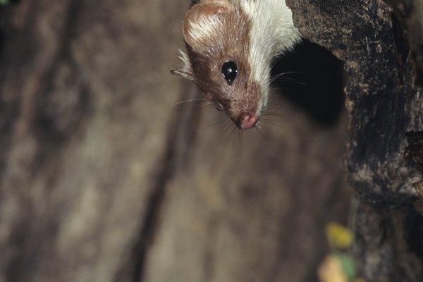 Las comadrejas son mamíferos carnívoros con cuerpos largos, elegantes y con piernas cortas.