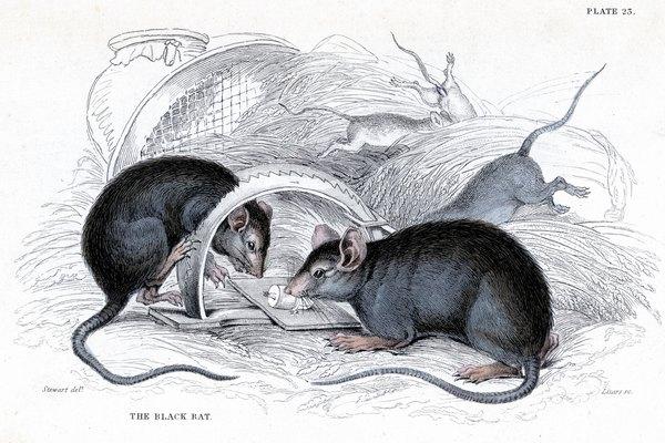 Además de estropear la comida, las ratas propagan las enfermedades como el tifus, la leptospirosis, la intoxicación alimentaria y fiebre por mordida, y pueden extender la plaga.