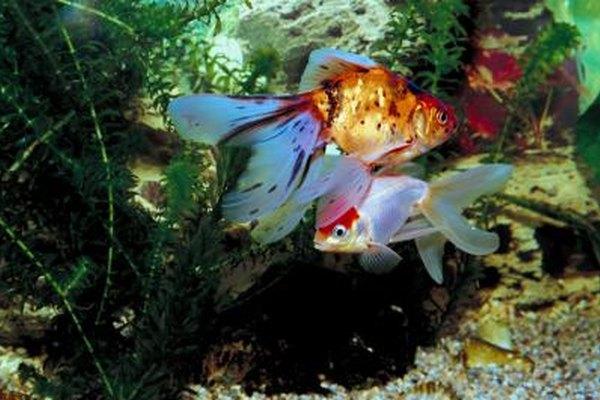 Cr a comercial de peces para acuarios peque a y mediana for Peces para criar