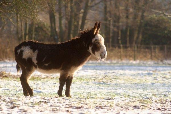 Un burro se encuentra en un campo cerca de un bosque en el invierno.