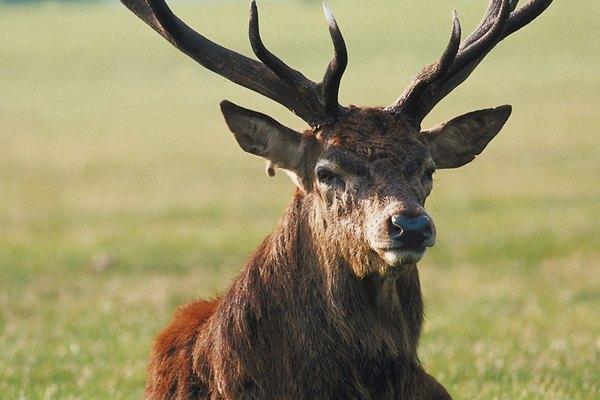 Los ciervos forman parte de una categoría amplia que comprende varias especies, incluyendo a los alces y renos.