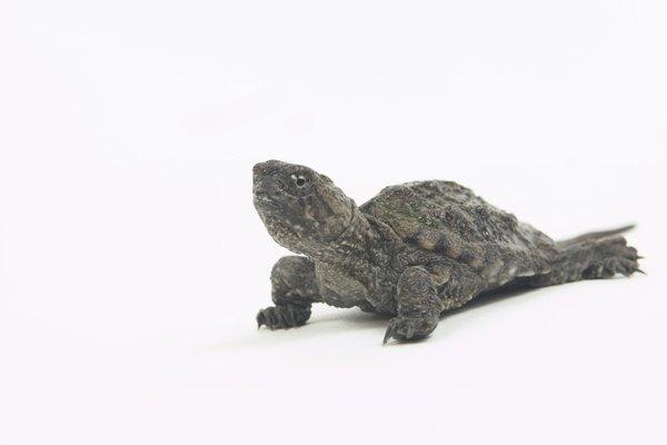 Conoce las adaptaciones de las tortugas.