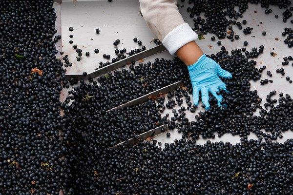 Napa Vineyard Harvests Its Grapes