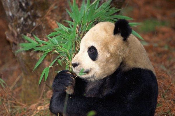 El bambú es una de las fibras más resistentes en el mundo.