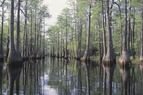 Los cipreses crecen en el agua. Sus raíces crecen en la superficie para respirar.