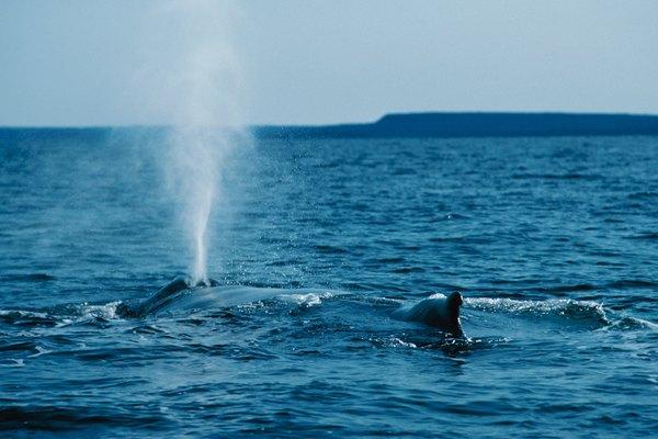 El respiradero de las ballenas es un ejemplo de un espiráculo.