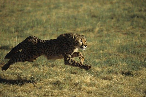 El chita es el animal más rápido de la tierra.
