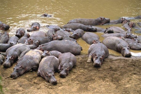 Una manada de hipopótamos se baña y descansa en el lodo.