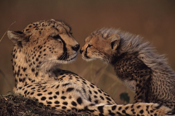 Cheetah mother and cub (Acinonyx jubatus) face to face, Kenya