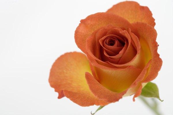 Utiliza una rosa para demostrar cómo el agua llega a todas las partes.