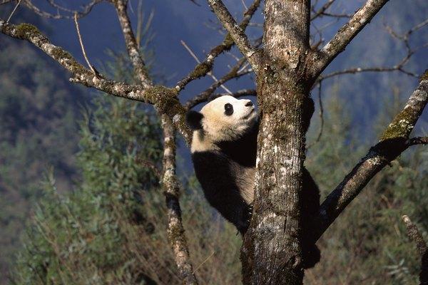 Los pandas gigantes tienen que ser lo suficientemente fuertes como para manejar su propio peso.