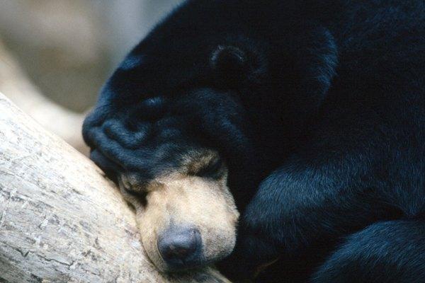 Durante la hibernación, los osos evitan lo peor del invierno.