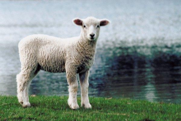 La lana comienza con una oveja.