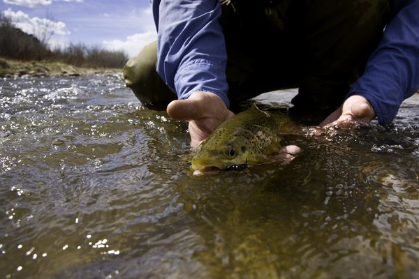Fly Fisherman Revives and Releases Brown Trout