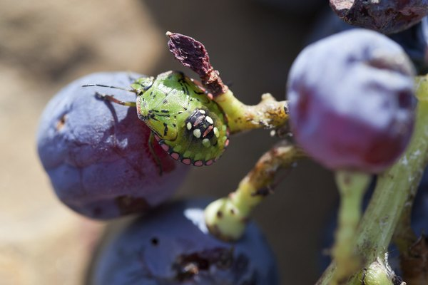 southern green stink bug on grapes
