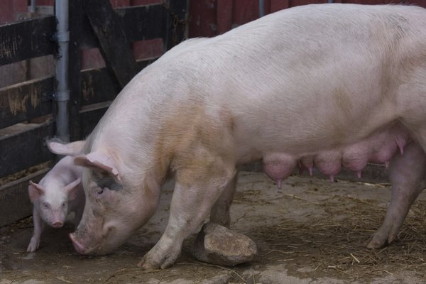 How to Tell if a Pig Is in Labor | Animals - mom me