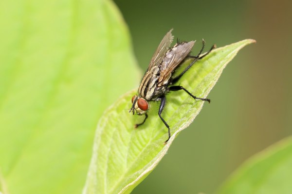 muscidae insects