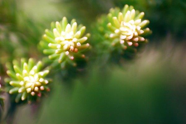 Las coníferas son los tipos de plantas que normalmente producen semillas en conos.
