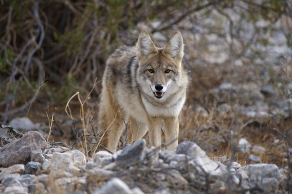 cautious death valley coyote