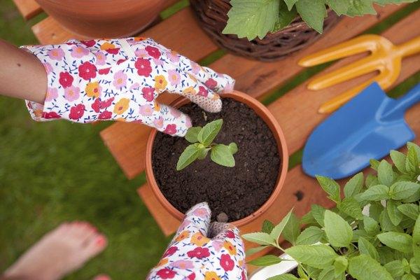 Cultiva flores de tilo.