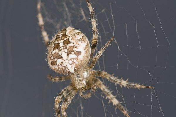 A diferencia de los insectos, los arácnidos sólo tienen uno o dos espiráculos.