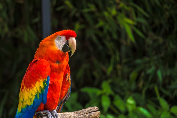 Red Parrot Sitting