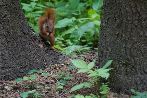 wild squirrel in the forest park