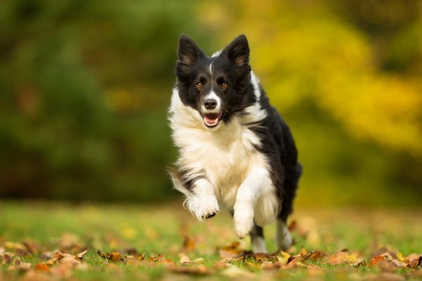 Border Collie Dog