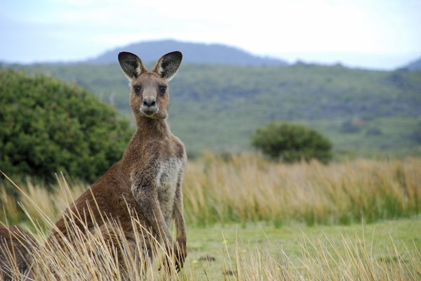 Kangaroo in outback
