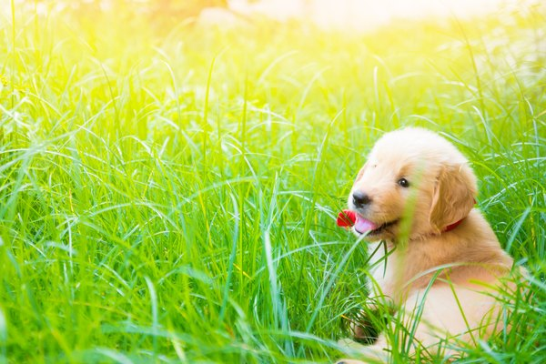 One month old golden retriever puppy smiling and laying in sun and grass