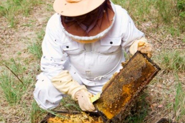 Alimenta una colmena de abejas con pasta de azúcar casera.