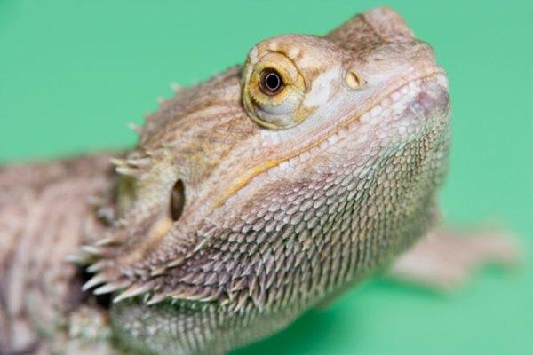 Hacer crecer a un dragón barbudo a su tamaño completo es fácil.