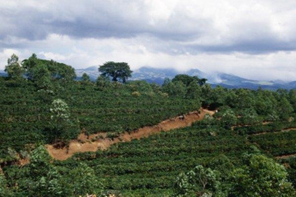 Los granos de café son cultivados en regiones tropicales como Costa Rica.